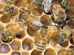 النحلة الأوروبية